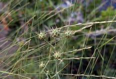 Frutti spinosi delle piante della Crimea Fotografia Stock