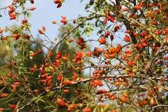 Frutti sul cespuglio del cinorrodonte Fotografia Stock