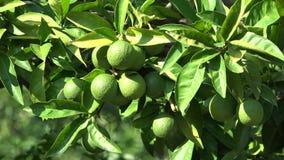 Frutti verdi del limone nell'albero di agrume stock footage