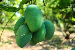 Frutti verdi tailandesi del mango più acidi Immagini Stock Libere da Diritti