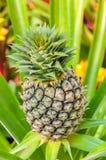 Frutticoltura tropicale in un'azienda agricola, fuoco selettivo dell'ananas sulla t Fotografia Stock Libera da Diritti