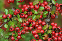 fruttifica il colore rosso Fotografie Stock