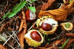 Fruttifica la castagna nelle foglie Immagini Stock