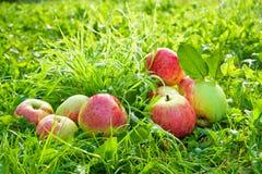 Fruttifica le mele mature, rosse, succose si trovano su un'erba verde Fotografia Stock Libera da Diritti