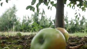Fruttifichi nel giardino, mela sull'erba video d archivio
