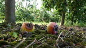 Fruttifichi nel giardino, mela sull'erba archivi video