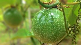 Frutto della passione Immagini Stock