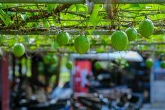 Frutto della passione organico Fotografia Stock