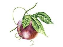Frutto della passione realistico della frutta dell'acquerello Immagini Stock