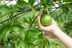 Frutto della passione sull'albero immagini stock libere da diritti