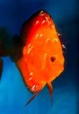 fry рыб discus Стоковая Фотография RF