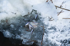 Fry the fish in the lake in the winter Royalty Free Stock Photos