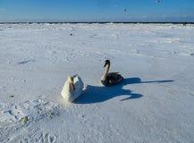 Frysa på isen av de Riga fjärdsvanarna i vintern av 2018 arkivfoton