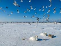 Frysa på isen av de Riga fjärdsvanarna i vintern av 2018 royaltyfri fotografi