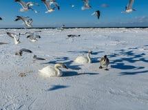 Frysa på isen av de Riga fjärdsvanarna i vintern av 2018 arkivbilder