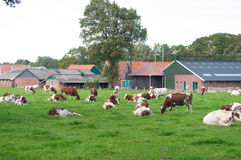 Frysian cows Royalty Free Stock Photo