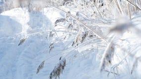 Frysning Reed Covered With Snow i fält vinter för skognatursun arkivfilmer