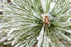 fryst barrträds- för filial sörjer Arkivfoto