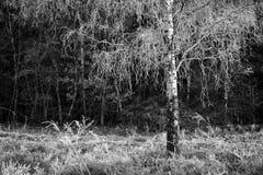 fryst björk arkivfoton