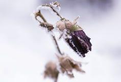 fryst blomma Arkivfoto