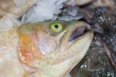 fryst fisk Freshfishmarknad Gilt-huvud bream Fiskförsäljning i marknad Fisk för havsbraxen på is ny isförsäljning för fisk Royaltyfri Foto