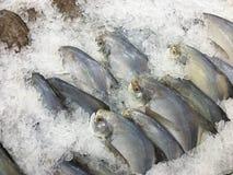 Fryst Pomfretfisk Royaltyfri Bild