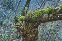 Fryst snö för blå gräsplan för höstskogmossa royaltyfria bilder