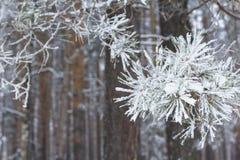 Fryst snöig för bakgrundsskog sörjer landskapet filialen i vinter Royaltyfri Fotografi