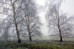 Fryste björkträd för Hoar frost i Wortham Ling Diss Norfolk Arkivbild