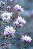 fryste blommor Royaltyfri Fotografi