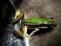 Fryste grodafamiljen har en härlig grön färg royaltyfri bild