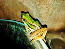 Fryste grodafamiljen har en härlig grön färg royaltyfri foto