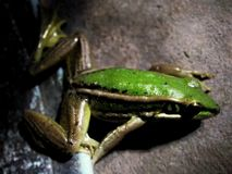 Fryste grodafamiljen har en härlig grön färg arkivbilder