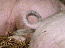 Fryzowanie ogony świnie obraz royalty free