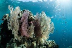 Fãs de mar no recife Imagem de Stock