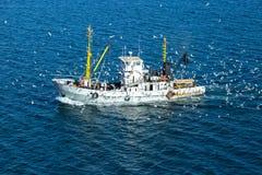 Fshingsambacht door zeemeeuwen, in Rusland wordt omringd dat Royalty-vrije Stock Afbeelding