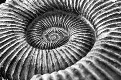 Fósil blanco y negro del amonite Foto de archivo