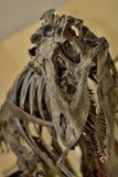 Fósil de dinosaurio Fotografía de archivo libre de regalías