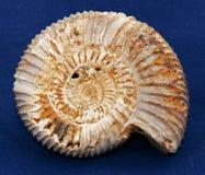 Fósil de la amonita Fotografía de archivo libre de regalías