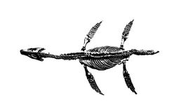 Fóssil de dinossauro no fundo branco Foto de Stock