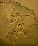Fóssil do Archaeopteryx Foto de Stock Royalty Free