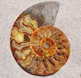 Fóssil Shell da amonite Imagem de Stock