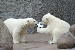 Fútbol del juego de dos pequeño osos polares Foto de archivo libre de regalías