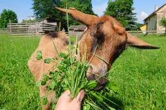 Fütterungsziege Lizenzfreies Stockfoto