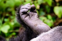 Fuß eines Berggorillas stockfotos