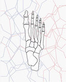 Fußknochen 8 Stockbilder