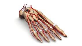 Fußknochen mit Arterienperspektivenansicht Lizenzfreies Stockfoto