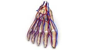 Fußknochen mit Blutgefäßvorderansicht Stockfotografie