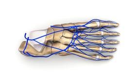 Fußknochen mit Draufsicht der Adern Stockfotos
