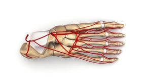 Fußknochen mit Draufsicht der Arterien Lizenzfreies Stockfoto